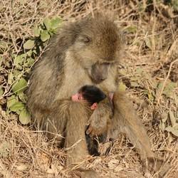 Wilde baviaan met jong