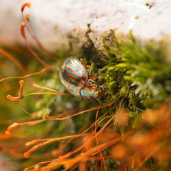 rozemarijngoudhaantje - Chrysolina americana