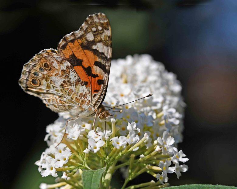 invasie - Het laatste jaar van het vorige decennium was een slecht vlinderjaar. Door de droge zomer zijn veel rupsen verhongerd. Maar 2019 was óók een