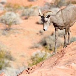 Big horn sheep, Valley of Fire State park , Nevada, USA