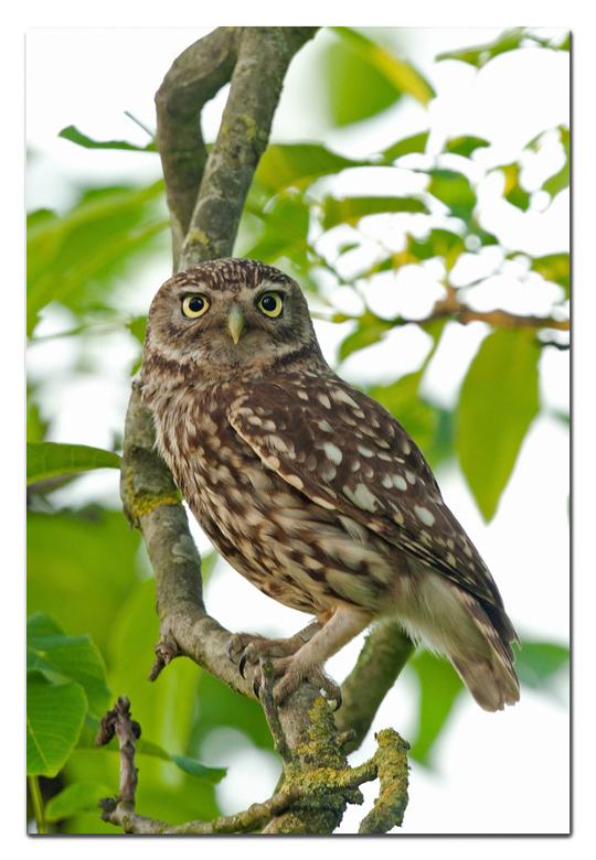 Steenuiltje - een steenuiltje in een boom<br /> <br /> Effies in het groot bekijken!<br /> <br /> Heel erg bedankt voor de fijne reacties bij de v