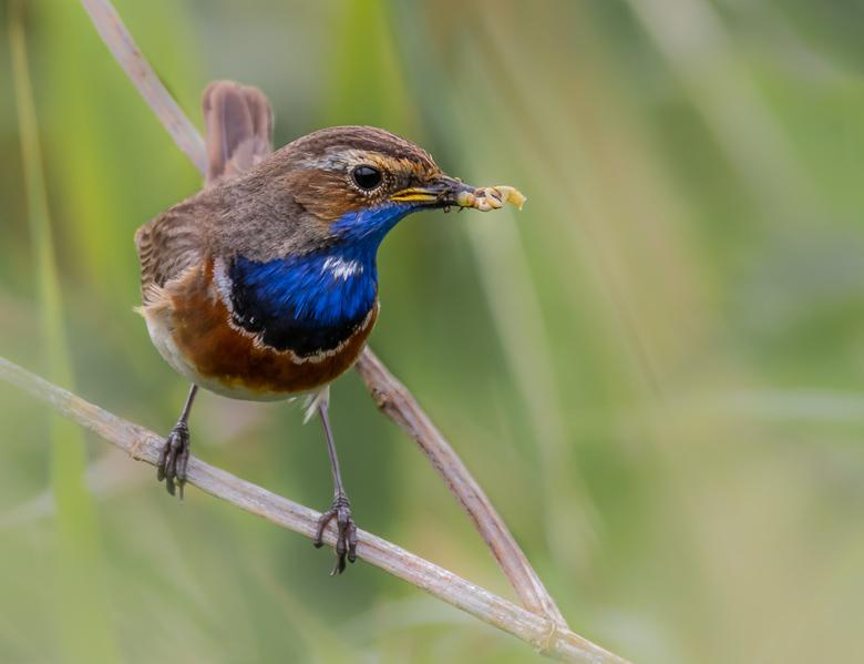Blauwborst (man) - Prachtige kleurrijke vogels die zomers in Nederland wat op Fleuren.