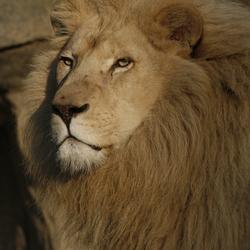 Beroemde witte leeuw
