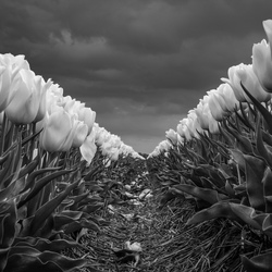 Black & White tulips (from Holland)