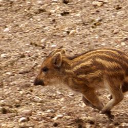 Biggetje van een wild zwijn in gallop