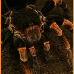 Orange-kneed Tarantula