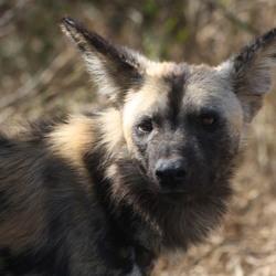 wilde hond, zuid afrika