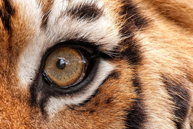 Eye of the tiger - Oog van een tijger