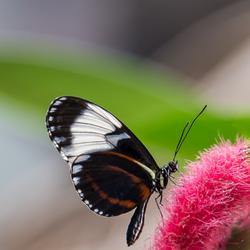 Gouden helicon vlinder