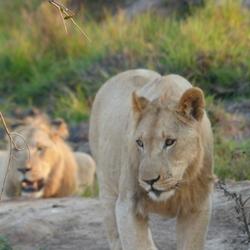 Leeuwen in Swaziland