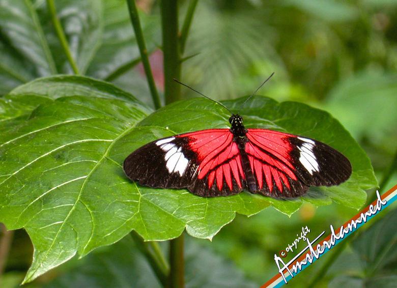 Vlinder - Geen idee welk soort vlinder dit is maar heb hem vastgelegd in Singapore op Sentossa eiland.