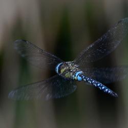 DSC_ Grote keizerlibel