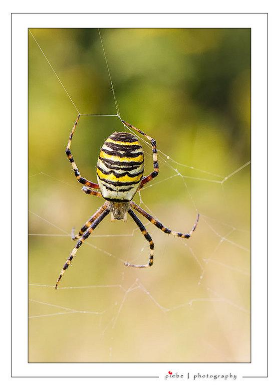 Wespspin of tijgerspin - De naam 'wespspin' heeft alles te maken met het uiterlijk; de spin kan niet steken en de beet is ongevaarlijk voor