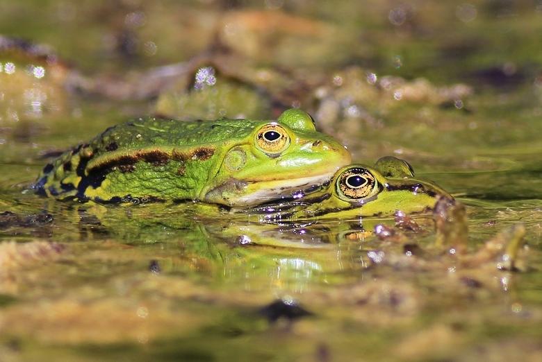 groene kikkers - Groene kikkers