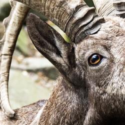 Siberische Steenbok