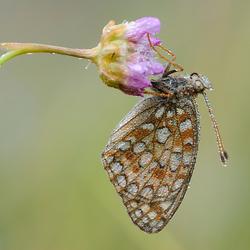 Duinparelmoervlinder