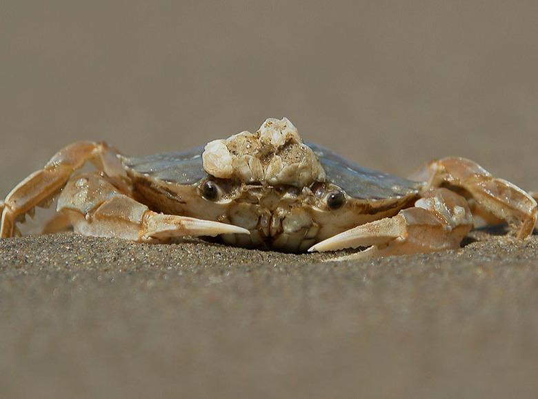 Krabje - Al wandelend langs strand stond ik bijna op dit krabje .<br /> Met z,n hoedje van zeepokken op z,n koppie .<br />