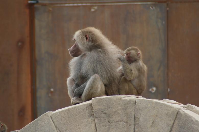 De Koning - Een baviaan in Wildlands Emmen laat zich verzorgen.