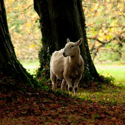 Nieuwsgierig schaap