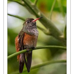 Amazilia-kolibrie