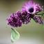 paars met witje