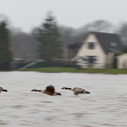 Eenden lichtelijk van slag door hoog water in de IJssel