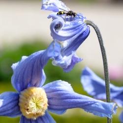 Insect op blauw bloem