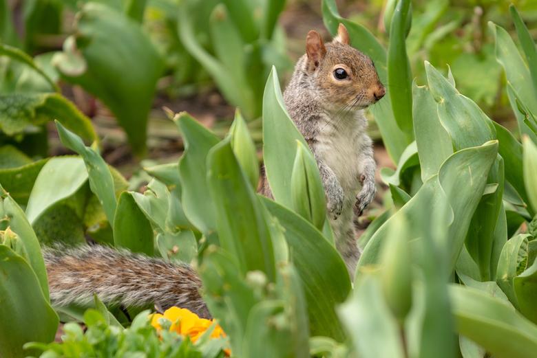 Eekhoorn in Londen - Een vrolijke eekhoorn in St James's Park Londen.