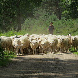 Herderin met haar kudde