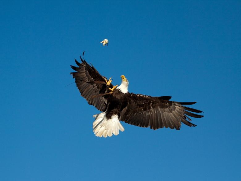 amerikaanse zeearend - zeearend vangt prooi.....