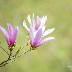 Keukenhof - Magnolia