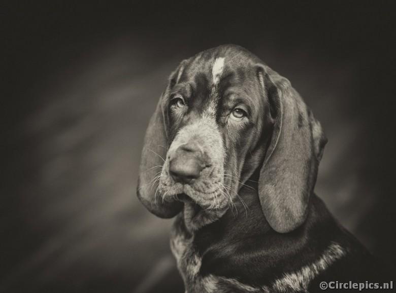 """Lola - Sinds zaterdag hebben we weer gezinsuitbreiding, een 8 weken jonge Bracco Italiano pup die (nog niet <img  src=""""/images/smileys/wilt.png""""/> ) l"""