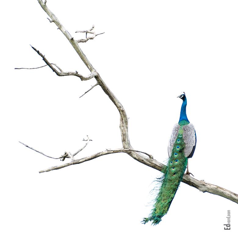 Indian Peafowl - De pauw zoekt een veilige plek hoog in de boom. Het contrast van de dode boom met de kleurijke vogel bracht me op dit idee.<br /> Lo