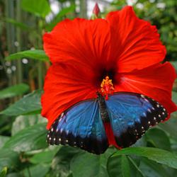 morpho vlinder (2)