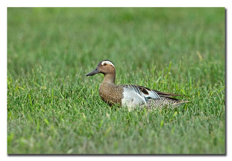 Zomertaling - een zomertaling ( manneke ) waggelend door het gras<br /> <br /> Effies in het groot bekijken!<br /> <br /> Heel erg bedankt voor de