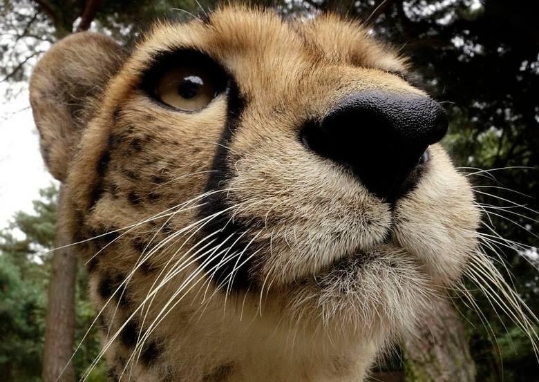 Van onderen - Cheetah