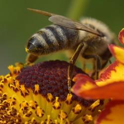 bij met pollen