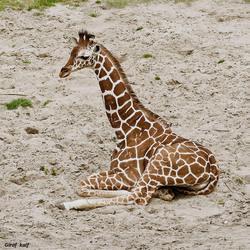 Jonge Giraf_DSC5006