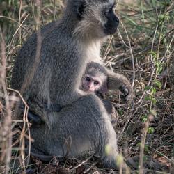 Kleine Aap, Kruger Park (Zuid-Afrika)