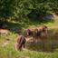 Konikpaarden bij meertje