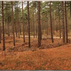 dennenbossen op de kempense heuvelrug