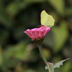 Citroenvlinder Pink Ribbon