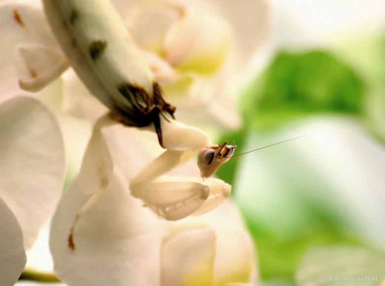 """Cloaked mantis on orchid - Genomen in blijdorp <img  src=""""/images/smileys/smile.png""""/> Een mooie witte sprinkhaan op een witte orchidee, met lekker ex"""