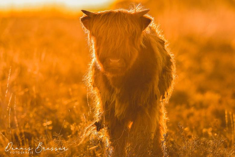Sunset Scottish Highlanders -
