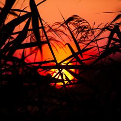 De zon tussen het riet