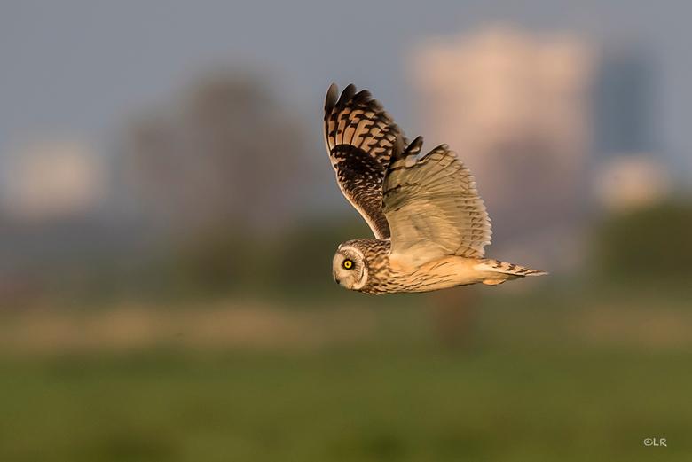_LAR3772 - Velduil in vlucht. Wat een gave uilen zijn dit toch. Hier kan ik echt van genieten!Prachtbeesten en mooi om te zien hoe ze jagen.