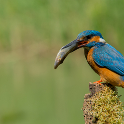The Pike and the Kingfisher