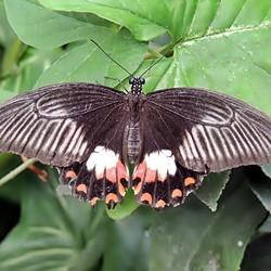 Papilio polytes ♀