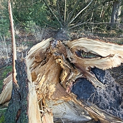 Omgewaaide boom in België