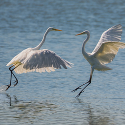Clash of the herons